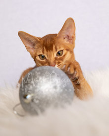 Abyssinian Kitten With Paw on Holiday Ornament