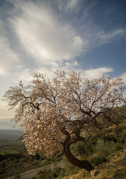 January blossom in Andalusia