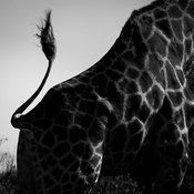 9407-Tail_of_giraffe_Laurent_Baheux
