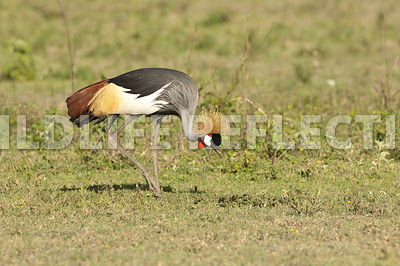 crested_crane_feeding_walk_3
