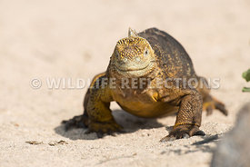 galapagos_land_iguana_north_seymour_walk-14