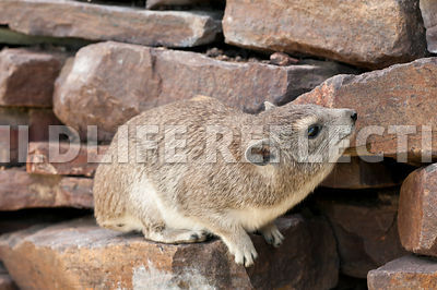 Hyrax Peering Up Rock Wall