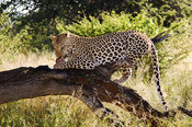 Leopard (Panthera pardus) feeding on a kill, Namibia
