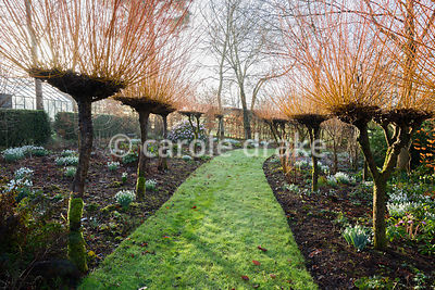 An avenue of Salix alba var. vitellina 'Britzensis' underplanted with snowdrops and Cyclamen coum at Higher Cherubeer, Devon
