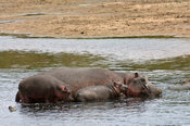 Hippopotamus (Hippopotamus amphibius) with young in the Telek river,  Maasai Mara National Reserve, Kenya