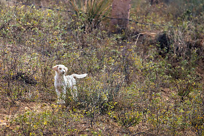 Lone street dog puppy in desert scrub near Surajkund village, Rajasthan, India