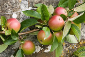 Apple 'Laxton's Superb'. Clovelly Court, Bideford, Devon, UK