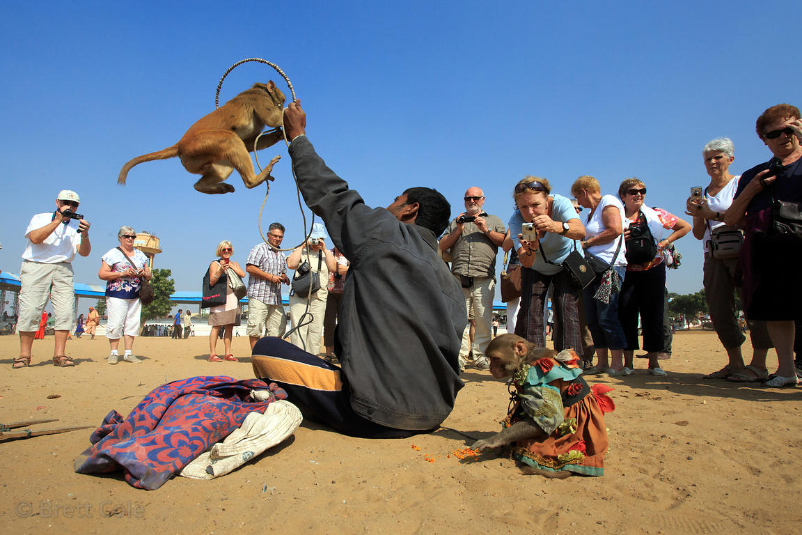 Foreign tourists delightedly snap photos of a captive red macaque monkey performing at the Pushkar Camel Fair, Pushkar, Rajas...