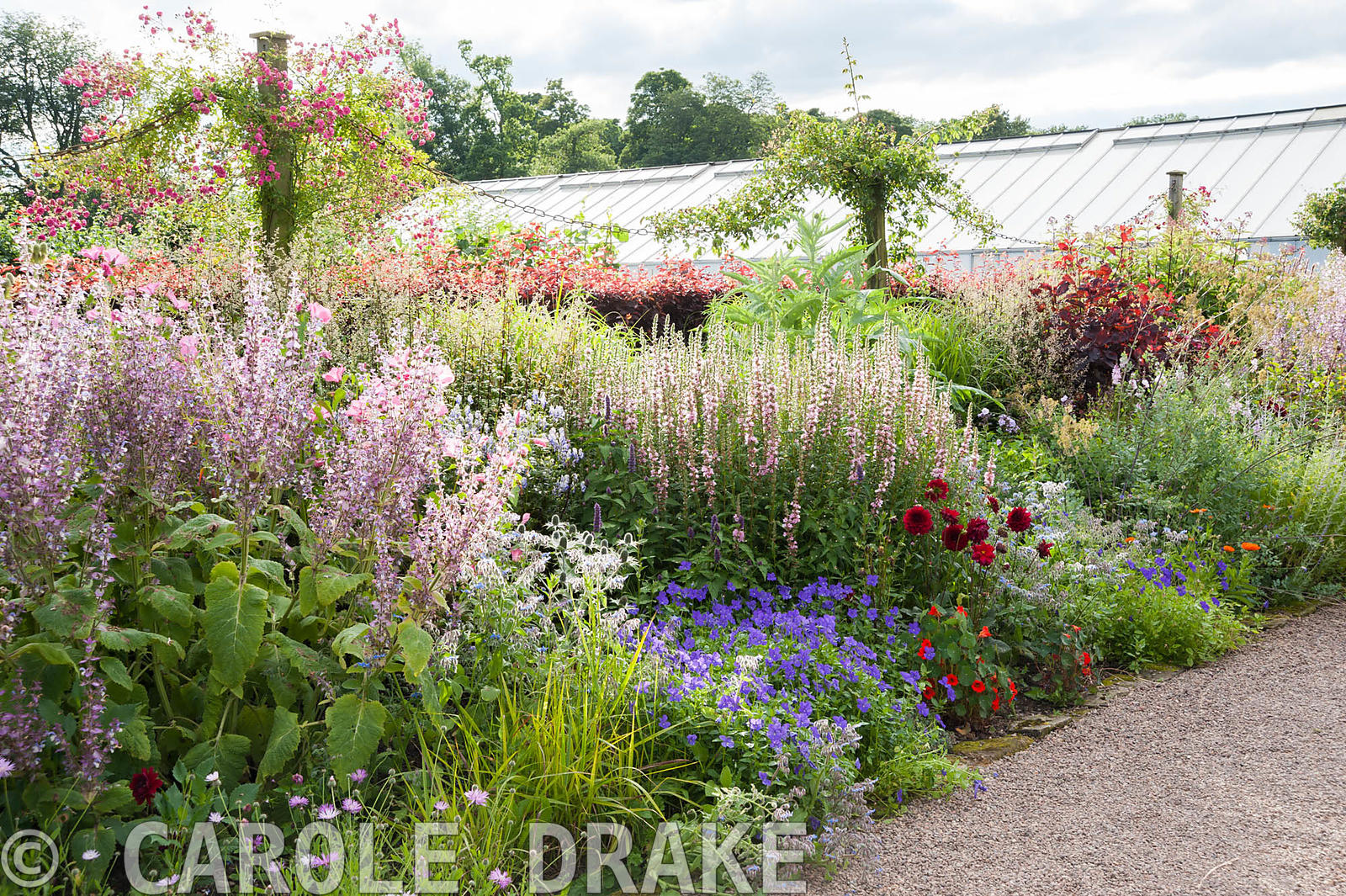 Border near the glasshouses includes tall Salvia turkestanica, geraniums, eryngiums, pink mallows, penstemons and Cotinus cog...