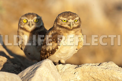 burrowing_owl_peering_from_behind