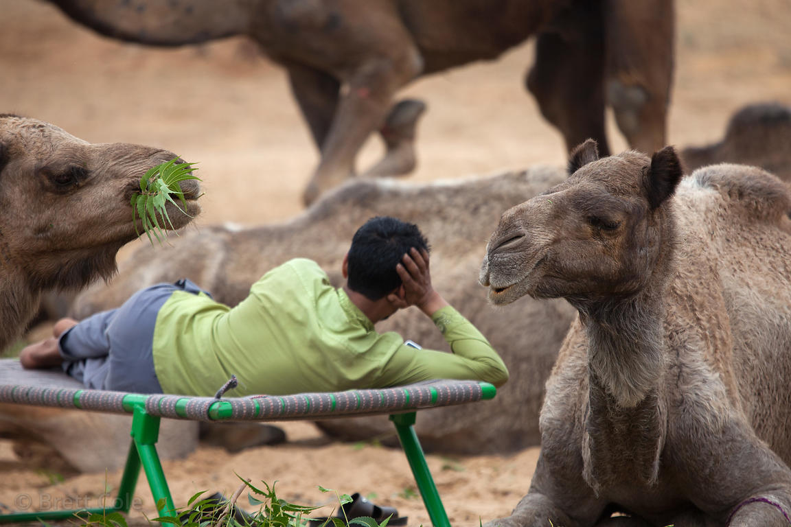 A man talks on his cell phone while surrounded by eating camels in Pushkar, Rajasthan, India