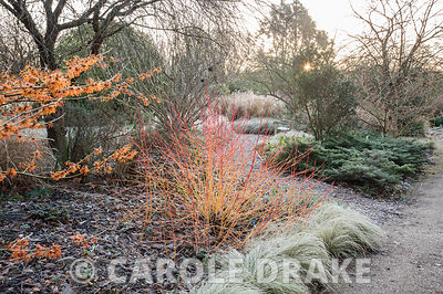 Cornus sanguinea 'Anny's Winter Orange' surrounded by silvery carex and hamamelis. Sir Harold Hillier Gardens, Ampfield, Roms...