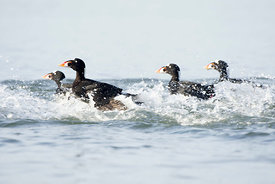 January - Surf Scoters