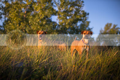 two cross breed red dogs standing together in natural grasses
