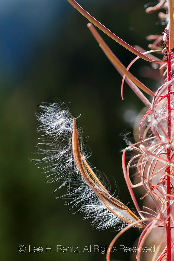 Fireweed Going to Seed in Autumn in Olympic National Park