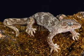 Southern Alps gecko (Woodworthia sp.)