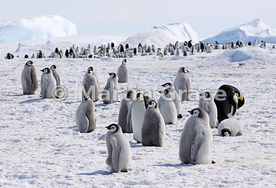 Emperor Penguins - Winner of the Inspirational Encounters category of Bird Photographer of the Year 2019