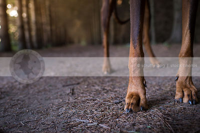 closeup of brown and tan dog legs paws and toes in pine needles