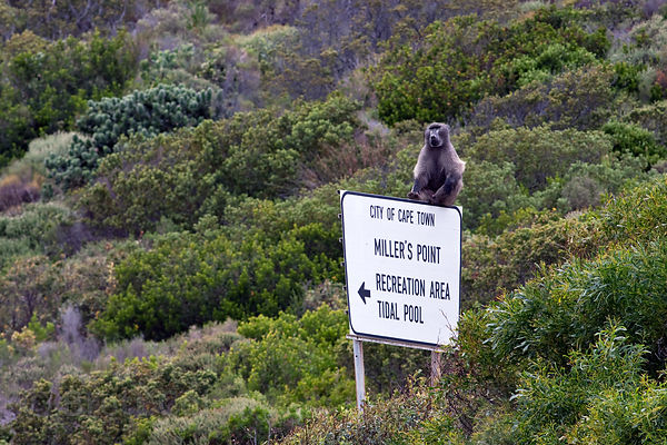 Alpha male chacma baboon from the Smitswinkel troop sits atop the sign for Miller's Point, a popular recreation area, Cape Pe...