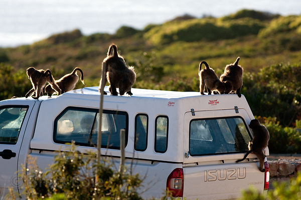 Chacma baboons from the Buffels Bay troop playing on a truck, Buffels Bay, Cape Peninsula, South Africa