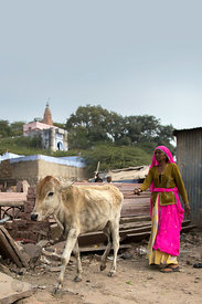 A woman tends her cow at a construction material yard, Pushkar, Rajasthan, India