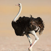Wild male Ostrich full body view