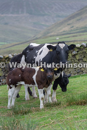 Beef cow and calf on upland pasture, Trough of Bowland, Lancashire, UK.