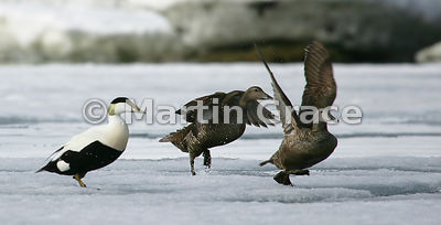 Male Eider Duck (Somateria mollissima) on left, with two females taking off, Holmiabukta, Spitsbergen, Svalbard