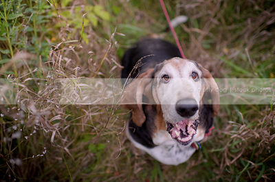 humorous senior dog talking looking upward from dried grasses
