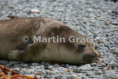 Young Southern Elephant Seal pup on the beach at Fontana Bay, South Georgia