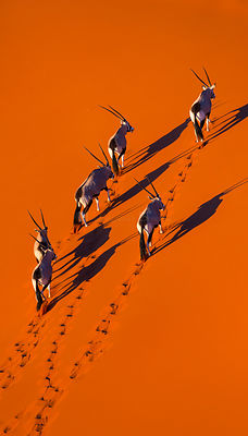 Gemsbok (Oryx gazella) aerial view of herd on sand, Namib Desert, Namibia.
