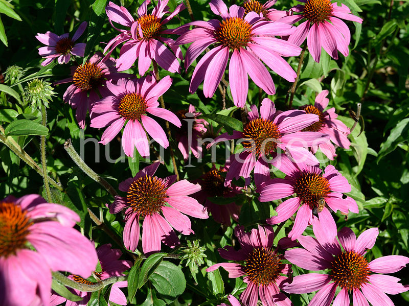 Nature Stock Photos: Purple Coneflower