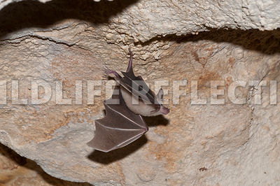 waterhouse_bat_hanging_23