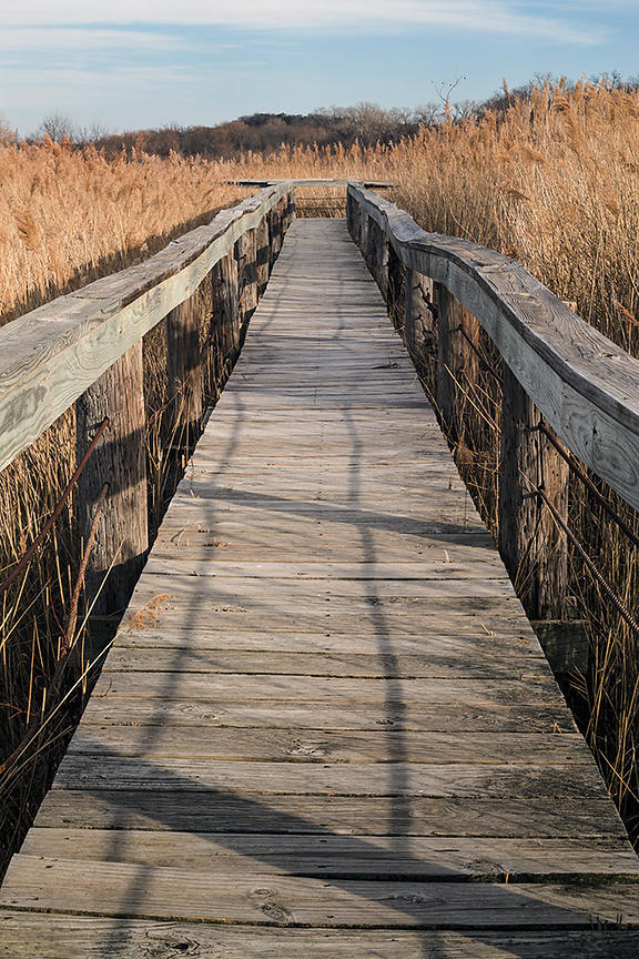 Boardwalk through marsh surrounded by cattails.