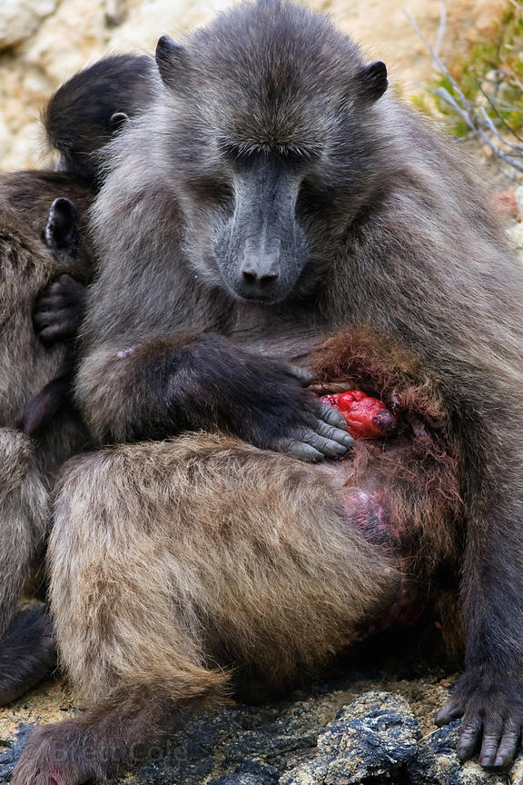 Female chacma baboon from the Smitswinkel troop with a huge tumor on her abdomen, near Miller's Point, Cape Peninsula, South ...