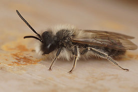 Andrena nycthemera, male at Durmplassen Merendree