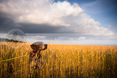 serious brown speckled pointer dog hiding in wheat field under sky