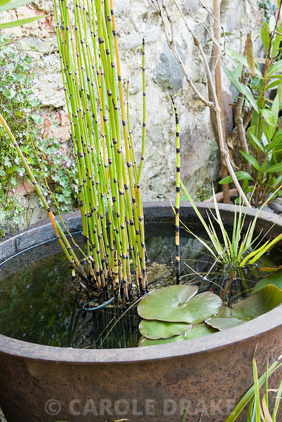 Horsetail, Equisetum hyemale, in a metal planter serving as a mini water garden. 24 Bude Street, Appledore, Devon, UK