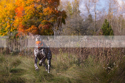 brown speckled dog with goofy ears fetching ball in autumn meadow
