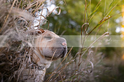 wrinkled tan sharpei dog with eyes closed in long dried grasses