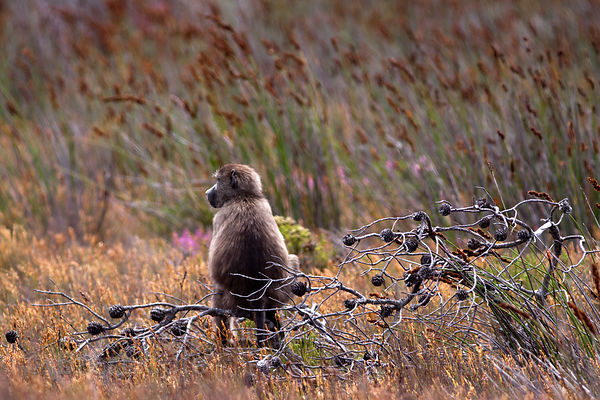 Chacma baboon from the Kanonkop Troop in natural fynbos ecosystem, Smitswinkel Flats,  Cape Peninsula, South Africa