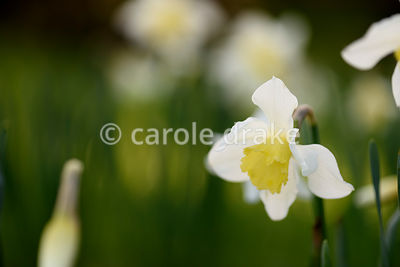 Narcissi naturalized in grass at Forde Abbey in April