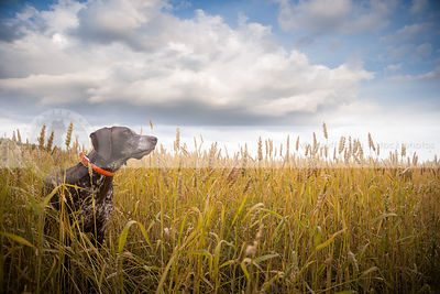 brown roan dog hiding in deep wheat under sky with clouds