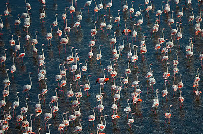 Aerial view of Lesser Flamingo (Phoenicopterus / Phoeniconaias minor) groups walking through shallow water. Lake Natron, Tanz...