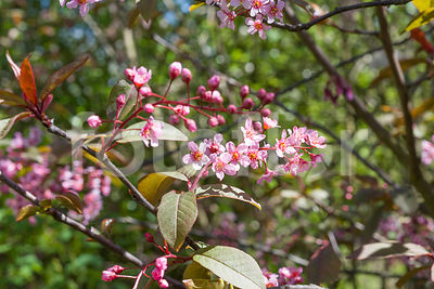 Prunus padus 'Colorata', cerisier grappe, rose