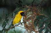 Slender-billed weaver (Ploceus pelzelni) building a nest, Ssese Islands, Uganda