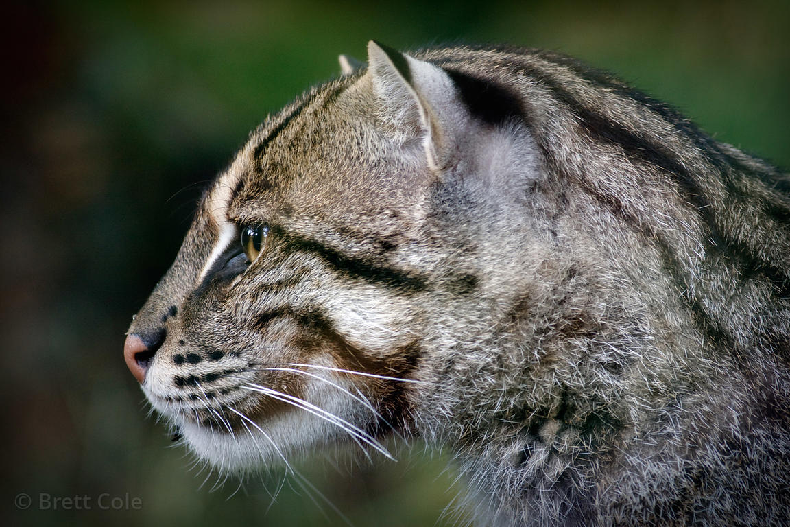 Fishing Cat (Prionailurus viverrinus), National Zoo, Washington, D.C.