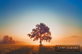Oak in mist (lat. quercus) - Europe, Germany, Bavaria, Upper Bavaria, Weilheim-Schongau, Penzberg, Sindelsdorf - digital - Ge...