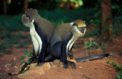 Mona monkeys, Cercopithecus mona, are considered sacred by villagers. Baobeng-Fiema Monkey Sanctuary, Ghana