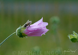 18-08-08_colombes_macro_fleur_abeille_pollen_rose_bokeh_JPEG_Qualité_maximum
